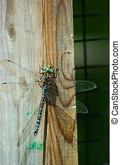 Dragonfly - Sunning on wood