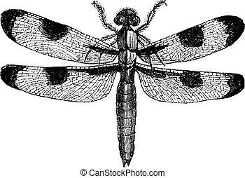 Dragonfly three spots (libellula trimaculata), vintage...