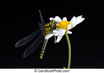 Dragonfly (Western Clubtail) sitting on a marguerite