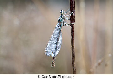 dragonfly with dew drops on a summer meadow macro . wet...