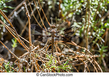 Dragonfly with wings wide open