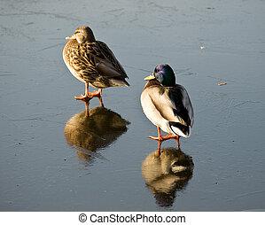 Drake and duck on lake ice