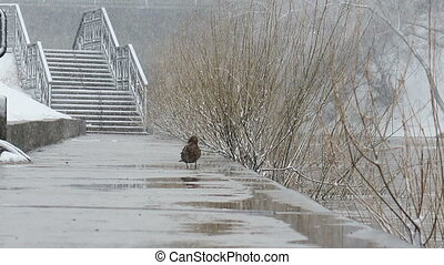 Drake comes to duck. It's snowing. Ekaterinburg. Russia