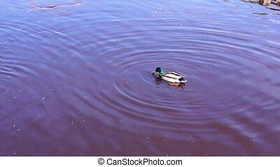 Drake duck in spring lake