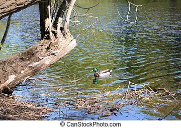 Drake in pond. - Drake in pond at sunny spring day.