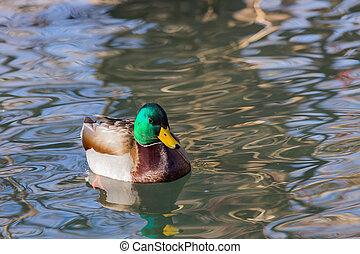 Drake Mallard - A drake mallard in a pond.