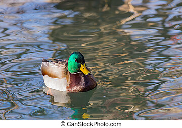 A drake mallard in a pond.