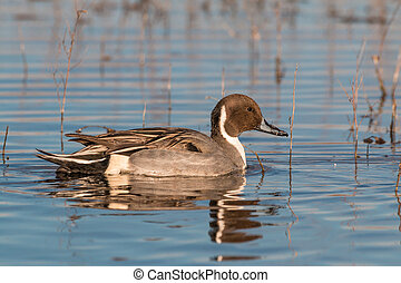Drake Pintail - a drake pintail duck reflected in a lake