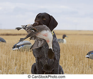 Drake Pintail - Drake Pintial harvested duck hunting
