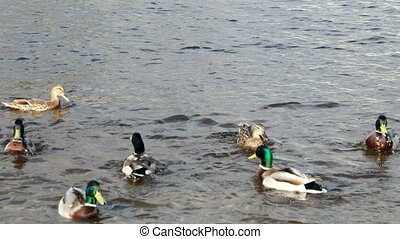 Drakes and ducks fighting among themselves for food. Neva...