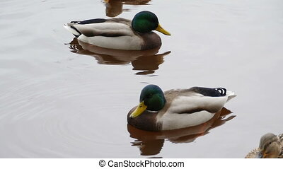 drakes mallard with blue heads, reflected in the water close-up