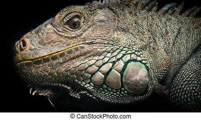 Dramatic Lizard Looking Around Closeup - Lizard turning its...
