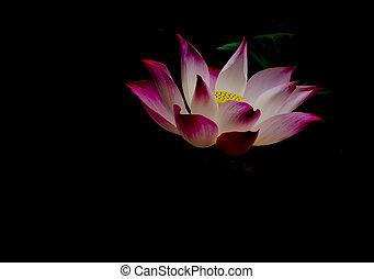 Dramatic of blossom pink lotus on dark blackground