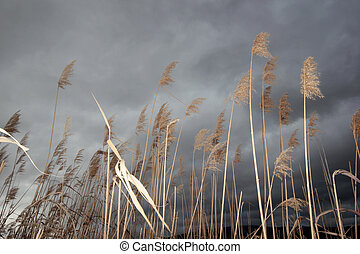 Dramatic sky and reeds