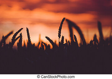Dramatic sky during sunset with silhouette of wheat ears in front. Back light