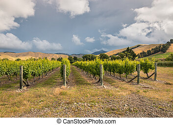 sunset over vineyard landscape in Marlborough, New Zealand