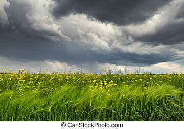 Dramatic storm clouds with rain over yellow rapeseed field
