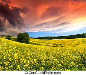 Dramatic Summer Landscape with a field of yellow flowers. Sunset