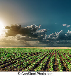 dramatic sunset over field with green sunflowers