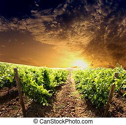 Dramatic vineyard on cloudy sunset