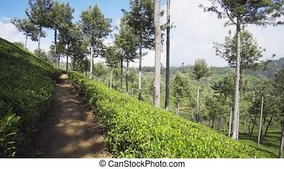 Dramatic Vista of Sri Lankan Hillside Tea Plantation - ...