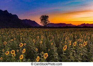 dramatisch, sonnenuntergangshimmel, aus, sonnenblumenfeld