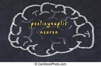 Drawind of human brain on chalkboard with inscription...