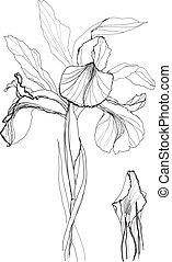 drawing iris - Iris flower drawing on white background
