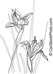 drawing irises