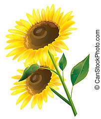 sunflower - drawing of beautiful sunflower in a white...