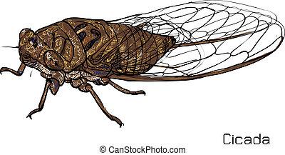 Drawing of cicada