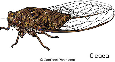 Drawing of cicada on white background. vector illustration