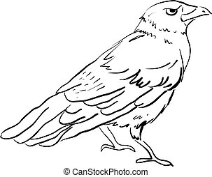 Drawing of crow, illustration, vector on white background.