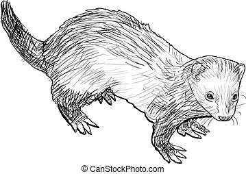 Drawing of ferret