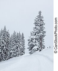 Dream like winter forest covered by new snow. - Fir forest...