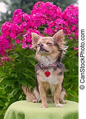Dreaming chihuahua puppy in summer floral garden