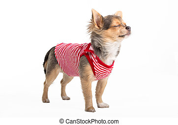 Dreaming Chihuahua - Tiny Chihuahua dressed in red and white...