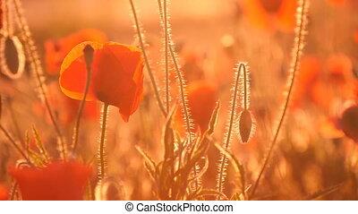 Dreamlike looking red poppy field in Ukraine under the rays...