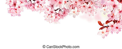 Dreamy cherry blossoms isolated on white