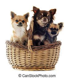 drei, chihuahua, in, a, korb
