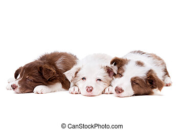 drei, eingeschlafen, rand- collie, hundebabys, reihe