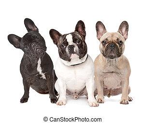 drei, französische bulldoggen, reihe