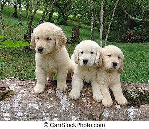 drei, goldenes, hundebabys