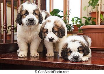 drei, hundebabys, 2, monate, altes