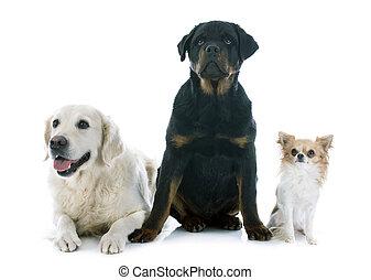 drei, hunden