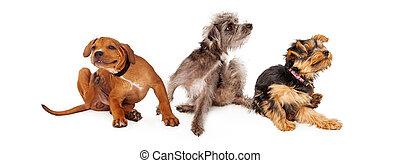 drei, juckend, hunden, kratzen, horizontal, banner