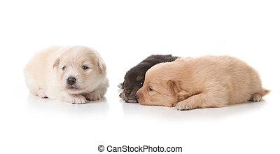 drei, pomeranian, hundebabys, weiß
