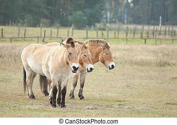 Ponny - drei Ponnys
