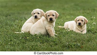 drei, reizend, gelber , labradorwelpe, basierend, grünes gras