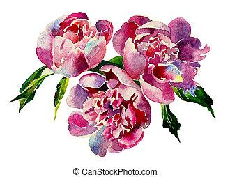 drei, rosa, pfingstrosen, aquarell